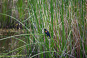 Red-winged Blackbird. (Agelaius phoeniceus) Madrona Marsh Wetlands is a vernal freshwater marsh and is approximately 43 acres. torrance, California, USA