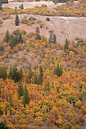 Autumn colored Garry Oak, (Quercus garryana) and Ponderosa Pine (Pinus ponderosa) grow on the side of Klickitat Canyon near Glenwood, Klickitat County, WA, USA