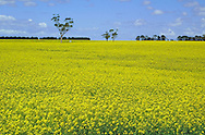 Canola crop in flower.<br /> <br /> For larger JPEGs and TIFF versions contact EFFECTIVE WORKING IMAGE via our contact page at : www.photography4business.com