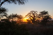 Baobab Tree at sunset at Tarangire National Park is a national park in Tanzania's Manyara Region. The name of the park originates from the Tarangire River that crosses the park. The Tarangire River is the primary source of fresh water for wild animals in the Tarangire Ecosystem during the annual dry season. The Tarangire Ecosystem is defined by the long-distance migration of wildebeest and zebras. During the dry season thousands of animals concentrate in Tarangire National Park from the surrounding wet-season dispersal and calving areas. It covers an area of approximately 2,850 square kilometers (1,100 square miles.) The landscape is composed of granitic ridges, river valley, and swamps. Vegetation is a mix of Acacia woodland, Combretum woodland, seasonally flooded grassland, and baobab trees.