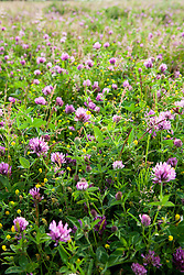 Red clover and Black medick in RSPB reserve at Dungeness. Trifolium pratense, Medicago lupulina