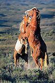 Wild Horses of Sand Wash Basin Colorado