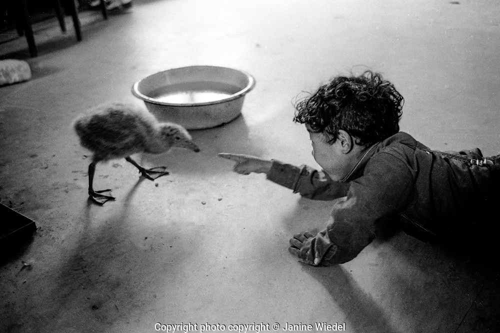 Inuit lboy playing with baby Arctic Gull in the Canadian Arctic settlement of Pangnirtung in the territory of Nunavut (North West Territories) 1973