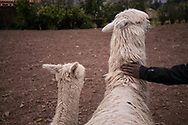 The alpacas are friendly and seem to enjoy the company of the kids. An alpacas coat is very soft. They are commonly bred for their soft fur.