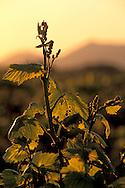 Grape vines at sunrise in vineyard along Refugio Road, near Santa Ynez, Santa Barbara County, California