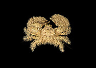 Broad-clawed Porcelain Crab - Porcellana platycheles