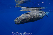 baby sperm whale calf ( Physeter macrocephalus ) rolling upside-down at surface Endangered Species Kona Hawaii ( Central Pacific Ocean ) (dm)