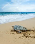 A critically endangered Hawksbill Sea Turtle (Eretmochelys imbricata imbrica) returning to the sea after nesting on the beach. (Bocas del Toro, Panama)