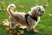 Yogi, the Shorkie (Shih Tzu, Yorkshire Terrier Cross)