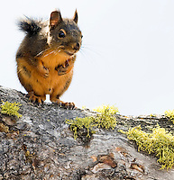 A Douglas Squirrel (Tamiasciurus douglasii) stands on a branch and appears to threaten fisticuffs as he has his front paws clenched like fists.  Located on Bethel Ridge in the Wenatchee National Forest, Cascade Mountain Range, Washington state, USA