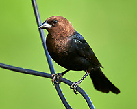 Brown-headed Cowbird. Image taken with a Nikon D850 camera and 600 mm f/4 VR lens.