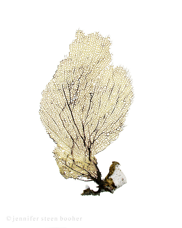 A yellow sea fan or fan coral from the island of Salt Cay, Turks and Caicos.