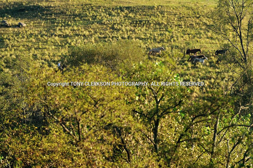 Gauchos lead horses through the fields