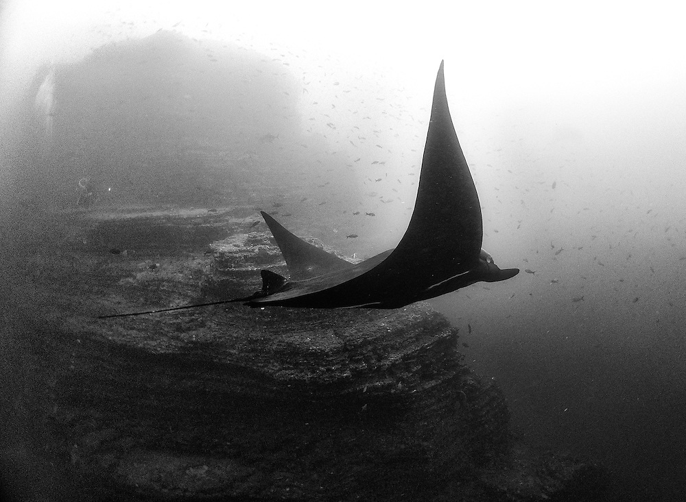 A Giant Pacific Manta cruising the Revillagigedo Islands.