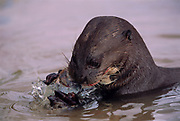 Giant Otter eating fish<br />Pteronura brasiliensis<br />Rupununi. GUYANA.  South America<br />RANGE: East of Andes.  Colombia to N. Argentina