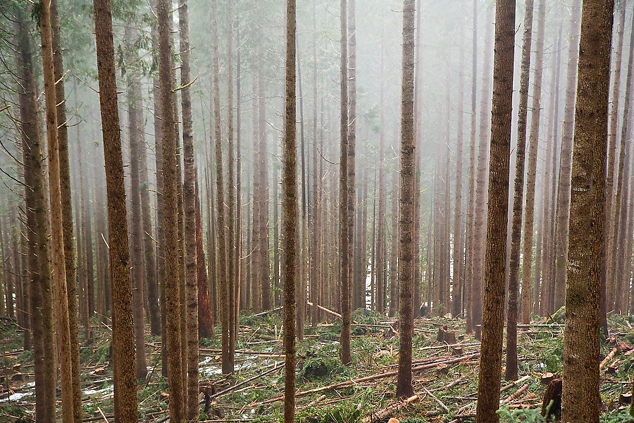 Broken branches and cut logs lie on the ground in a recently thinned and cleared pine forest shrouded in fog, Mount Baker-Snoqualmie National Forest, Washington.