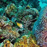 Bicolor Damselfish, Stegastes partitus, Grand Cayman