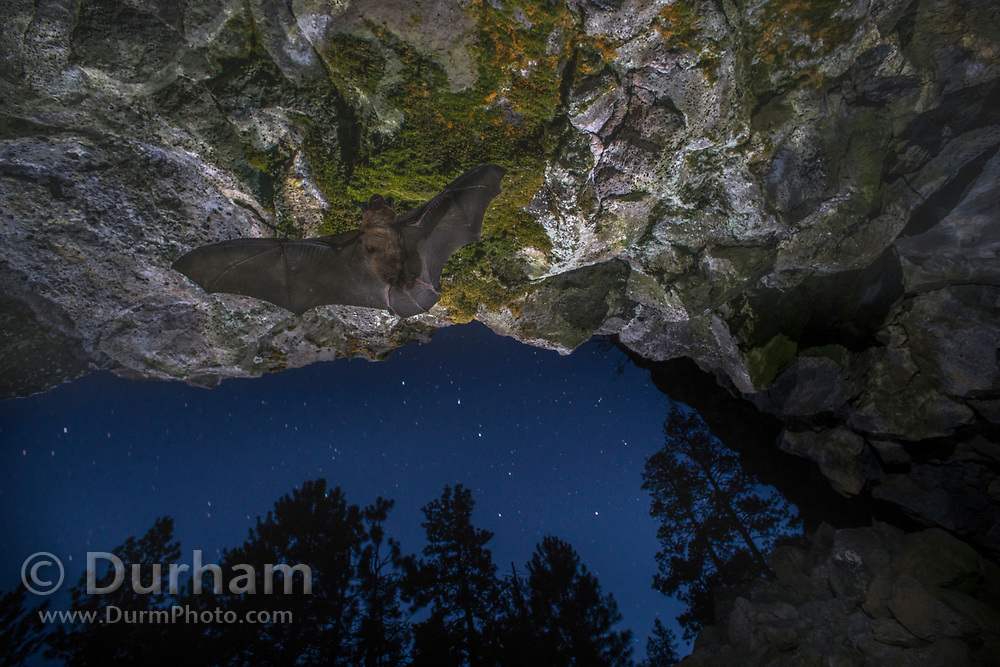 A bat flying into a cave in central Oregon. ©Michael Durham