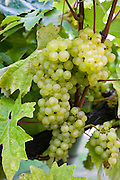 Bacchus Schonberger grapes growing on grapevines for British wine production at The Three Choirs Vineyard, Newent, Gloucestershire