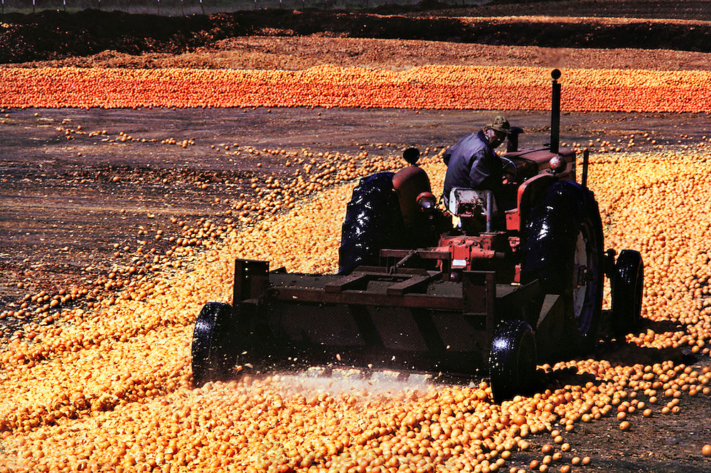 Surplus oranges chopped up and dried in the sun for cattle feed by the Sungro Company on an old airfield runway in Famoso, California, USA. Don Smith's cattle feed drying lot.