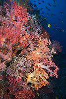 Soft Corals and Fishes on Reef Wall..Shot In Indonesia