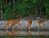While hiding in cover around this pond late one evening these 4 Bucks come walking in to drink. The one that appears to be the youngest spotted me. I managed to capture a few images before he warned the others and off they went.