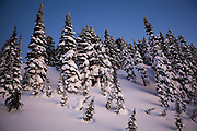 Pine trees shrouded in snow glow in the twilight above Paradise, Mount Rainier National Park, Washington.