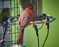 Northern Cardinal. Image taken with a Nikon D5 camera and 600 mm f/4 VR telephoto lens (ISO 640, 600 mm, f/5.6, 1/1250 sec).