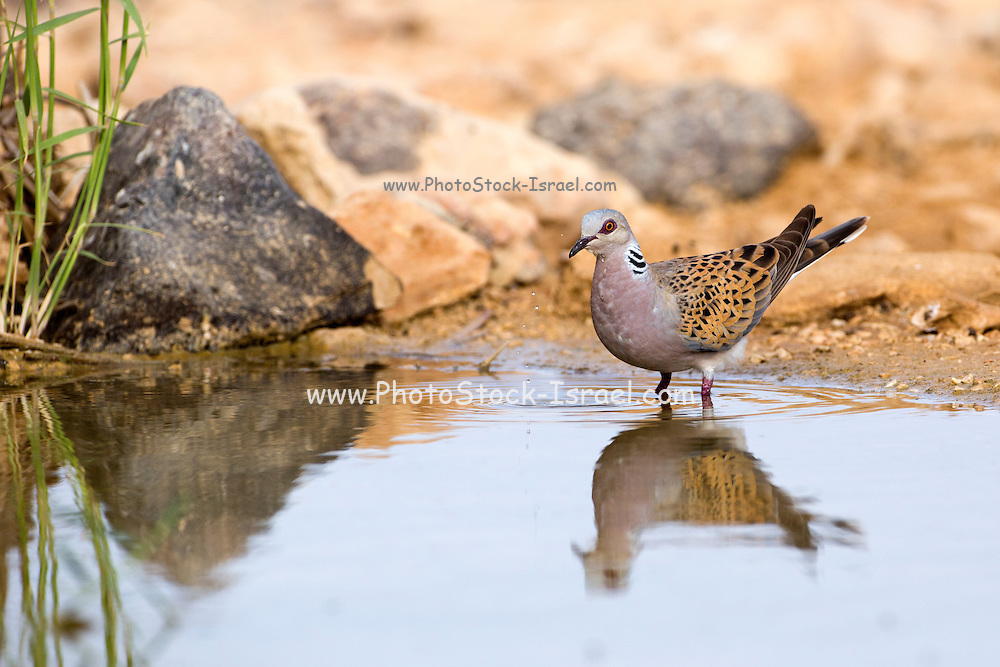 Turtle Dove (Streptopelia turtur) in a water pool in the desert, negev, Israel