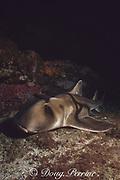 Port Jackson shark,  Heterodontus portusjacksoni (a type of bullhead shark or horn shark ), Forster, New South Wales, Australia