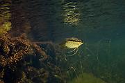 Cichlidae Fish (Mesonauta guyanae) in Aquatic Vegetation<br /> Permanant Freshwater Pond<br /> Savannah<br /> Rupununi<br /> GUYANA<br /> South America<br /> RANGE: Guyana & Venezuela