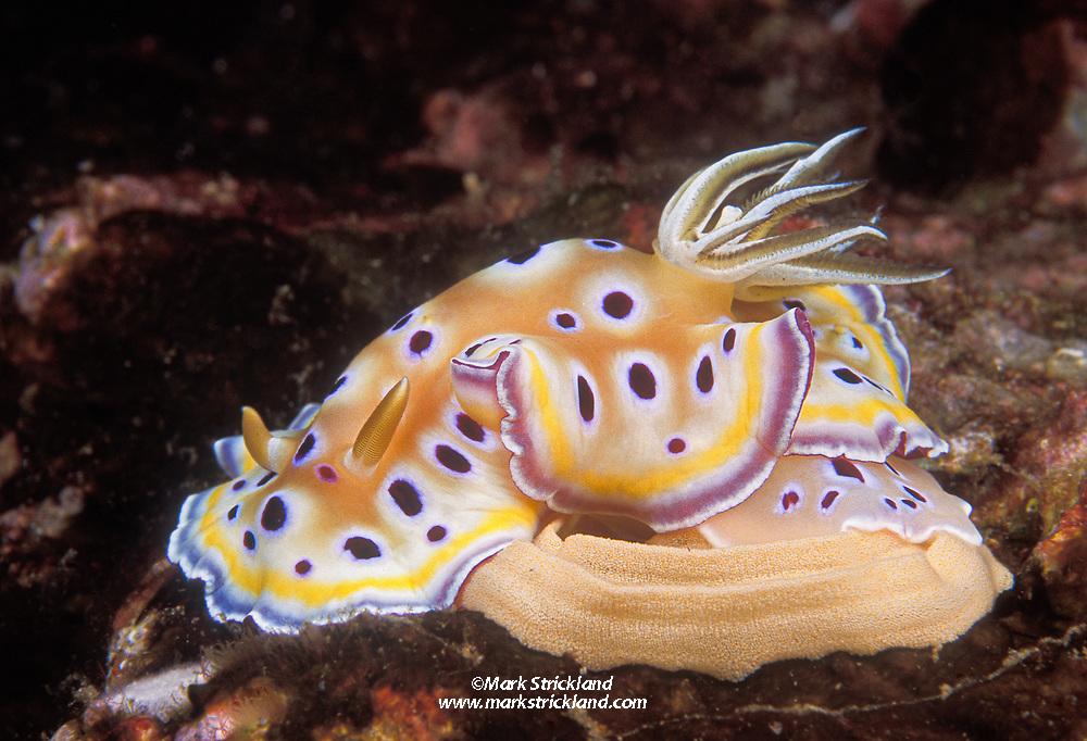 A colorful nudibranch, Chromodoris geminus, deposits eggs on rocky substrate. Mergui Archipelago, Myanmar, Andaman Sea