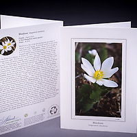 "The Bloodroot is rich in history including early and modern medicinal uses; learn why is this native early blooming wildflower is considered ""at risk"" in NH. <br />
