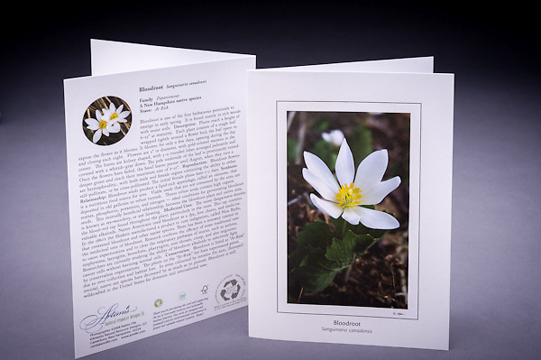 """The Bloodroot is rich in history including early and modern medicinal uses; learn why is this native early blooming wildflower is considered """"at risk"""" in NH. <br /> <br /> Artemis Photo Greeting Cards featuring NH native flora and fauna and historic sites. The cards are made exclusively in NH made from 100% FSC recycled paper, manufactured with wind and water power, and are archival acid free paper. Each card includes details on the back about the image, including interesting anecdotes, historic facts, conservation status, and recipes."""