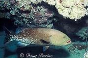 tiger grouper, Mycteroperca tigris,<br /> courtship coloration<br /> Cayman Islands ( Caribbean Sea )
