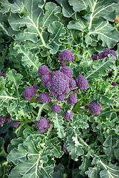 Purple sprouting Broccoli F1 Claret . Brassica oleracea