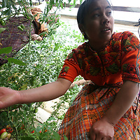 Paula Bruna Velásquez Pastor tends tomato plants in Totonicapan. CWS supports local organisation CIEDEG to run a food production and nutrition programme in several areas of Guatemala. With their support, in Totonicapan in the indigenous highlands, villagers have increased their food production by using greenhouses and irrigation. FRB supports CWS to run a food security programme in the region.