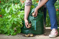 Harvesting potatoes from a potato planter