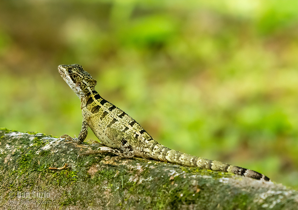 Female Striped Basilisk, Basiliscus vittatus, also known as Brown Basilisk or Jesus Christ lizard for its ability to walk on water.  Tortuguero National Park, Costa Rica