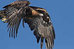 Golden Eagle in flight in Swan Valley Idaho