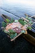 Turtle on outrigger canoe, Papua New Guinea