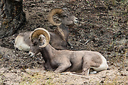 Bighorn Sheep / Ovis canadensis at Radium Hot Springs village, British Columbia, Canada.