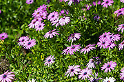 flowering garden. Blooming purple Gerbera flowers