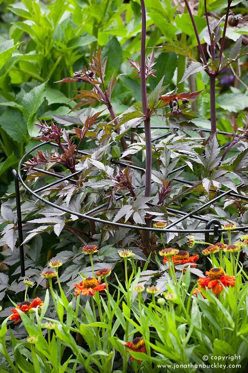 Hoop plant support around Dahlia 'Bishop of Llandaff'