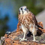 A female American Kestrel (Falco sparverius) at Wildlife Rescue, Inc. of New Mexico (wrinm.org)