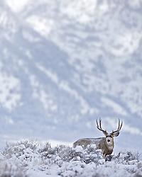 Winter Buck, Big Country