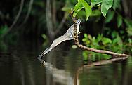 Little green heron or Striated heron, Butorides striatus/virescens, Napo wildlife lodge, Amazonas, Ecuador, South America