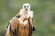 Close up portrait of a Griffon Vulture (Gyps fulvus), Photographed in Israel