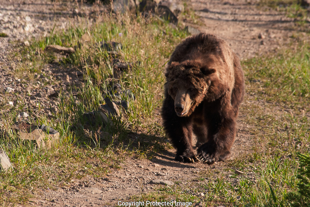 A Brown Bear, or Grizzly, came over the mountain.
