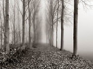 A very foggy morning at the bank of the Po river nearby Carignano in Piedmont, Italy. Poplar trees are often planted on the banks for make them stronger. Taken on a cold early morning of mid December.